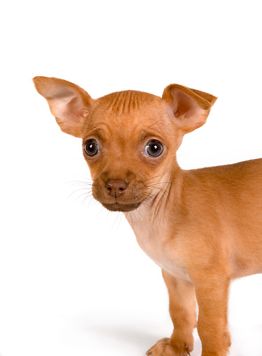 PUP 27 RK0168 01 © Kimball Stock Head Shot Of Chihuahua Puppy On White Seamless