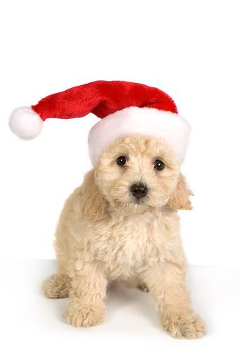 Santa hat animal stock photos kimballstock
