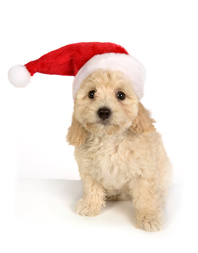 PUP 27 RK0191 01 © Kimball Stock Poodle Puppy Wearing Santa Hat On White Seamless
