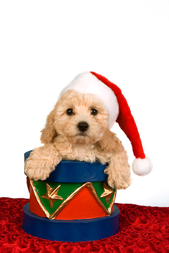 PUP 27 RK0198 01 © Kimball Stock Head Shot Of Poodle Puppy Wearing Santa Hat In Christmas Drum
