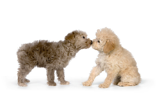 PUP 27 RK0206 01 © Kimball Stock Two Poodle Puppies Sitting On White Seamless Studio