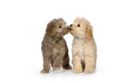 PUP 27 RK0207 01 © Kimball Stock Two Poodle Puppies Sitting On White Seamless Studio