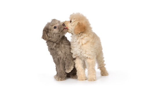 PUP 27 RK0208 01 © Kimball Stock Two Poodle Puppies Sitting On White Seamless Studio