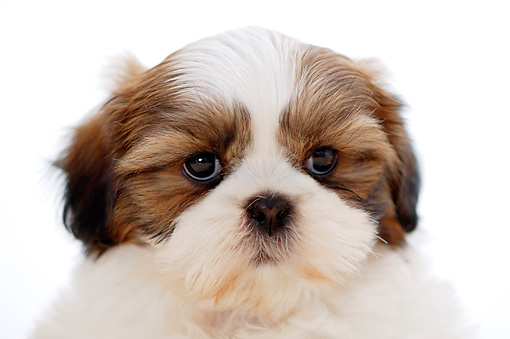PUP 27 YT0001 01 © Kimball Stock Head Shot Of Shih Tzu Puppy On White Seamless