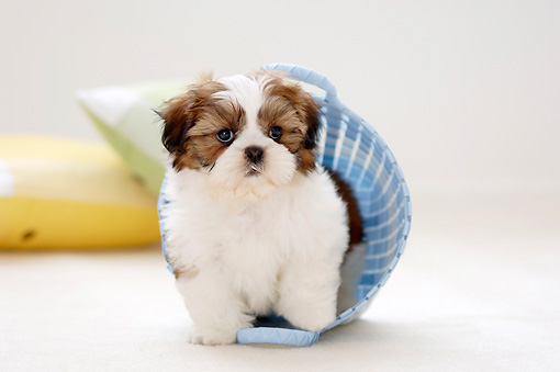 PUP 27 YT0002 01 © Kimball Stock Shih Tzu Puppy Standing In Blue Basket