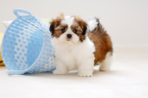 PUP 27 YT0003 01 © Kimball Stock Shih Tzu Puppy Standing By Blue Basket