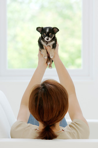 PUP 27 YT0004 01 © Kimball Stock Chihuahua Puppy Held Up By Woman Sitting On Couch