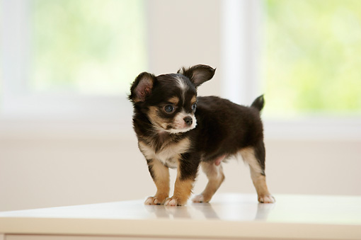 PUP 27 YT0005 01 © Kimball Stock Chihuahua Puppy Standing On White Counter