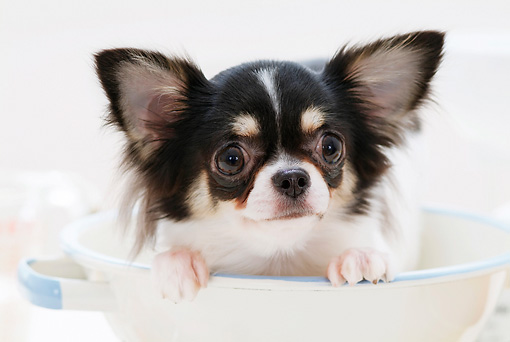 PUP 27 YT0007 01 © Kimball Stock Chihuahua Puppy Sitting In White Bowl