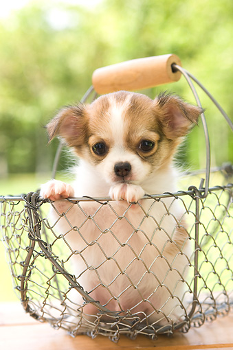 PUP 27 YT0011 01 © Kimball Stock Chihuahua Puppy Sitting In Metal Basket