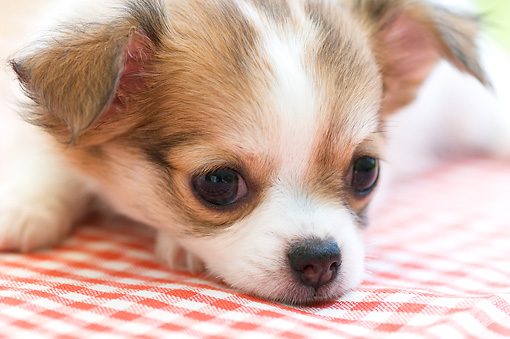 PUP 27 YT0015 01 © Kimball Stock Close-Up Of Chihuahua Puppy Laying On Red Checkered Cloth