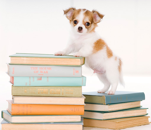 PUP 27 YT0020 01 © Kimball Stock Chihuahua Puppy Standing On Stack Of Books