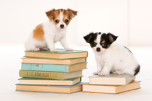 PUP 27 YT0021 01 © Kimball Stock Two Chihuahua Puppies Sitting On Stacks Of Books