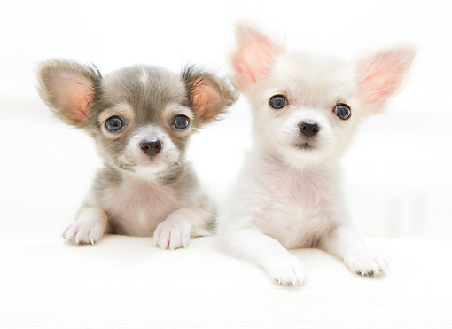 PUP 27 YT0022 01 © Kimball Stock Two Chihuahua Puppies Laying On White Cushion