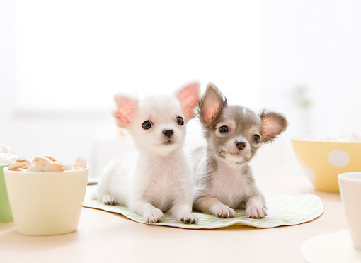 PUP 27 YT0023 01 © Kimball Stock Two Chihuahua Puppies Laying On Placemat On Table