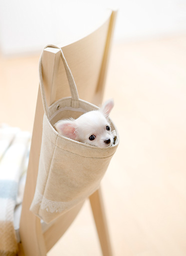 PUP 27 YT0026 01 © Kimball Stock Chihuahua Puppy Peeking Out Of Bag Hanging On Chair