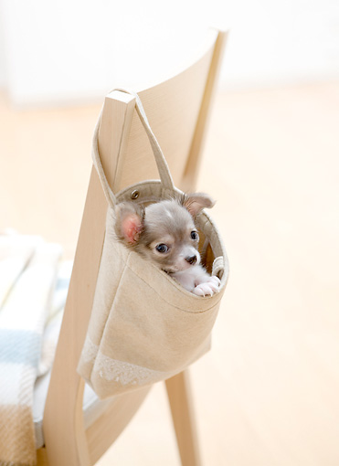 PUP 27 YT0027 01 © Kimball Stock Chihuahua Puppy Peeking Out Of Bag Hanging On Chair