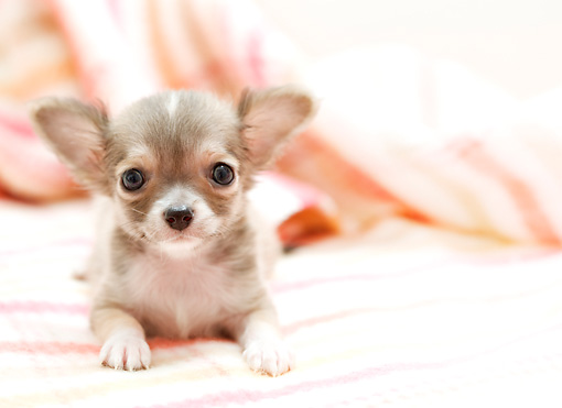 PUP 27 YT0028 01 © Kimball Stock Chihuahua Puppy Laying On Blanket