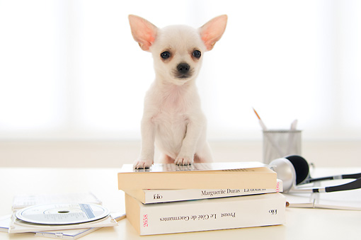 PUP 27 YT0030 01 © Kimball Stock Chihuahua Puppy Standing On Stack Of Books On Desk