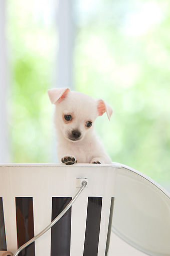 PUP 27 YT0031 01 © Kimball Stock Chihuahua Puppy Standing And Peeking Out Of Metal Bucket