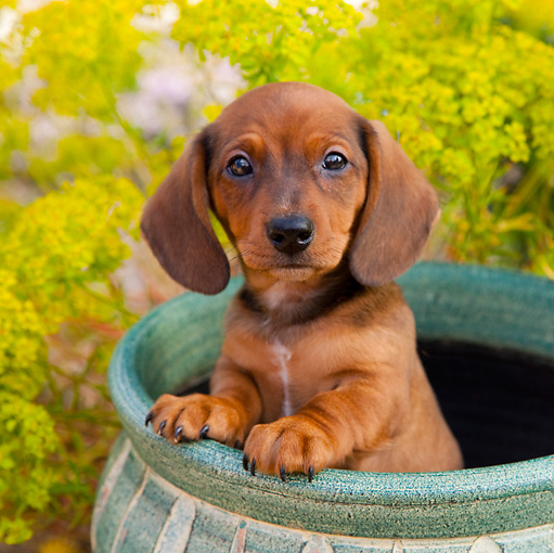 PUP 28 BK0001 01 © Kimball Stock Dachshund Puppy Sitting In Flower Pot In Garden