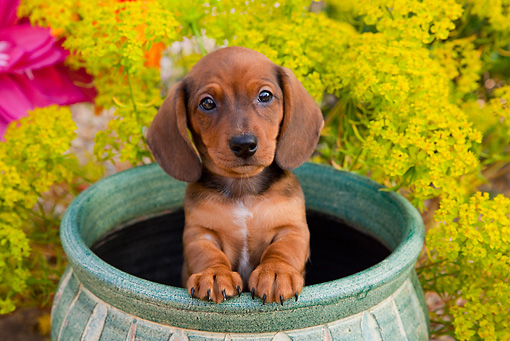 PUP 28 BK0002 01 © Kimball Stock Dachshund Puppy Sitting In Flower Pot In Garden