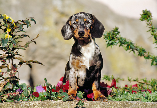 PUP 28 CB0001 01 © Kimball Stock Smooth Coat Dachshund Puppy Sitting In Garden