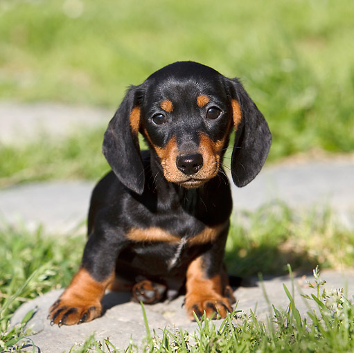 PUP 28 CB0003 01 © Kimball Stock Dachshund Puppy Sitting On Stone In Grass