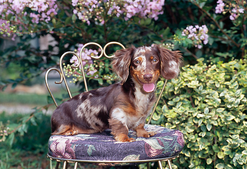 PUP 28 CE0013 01 © Kimball Stock Long-Haired Dachshund Puppy Sitting On Chair In Garden