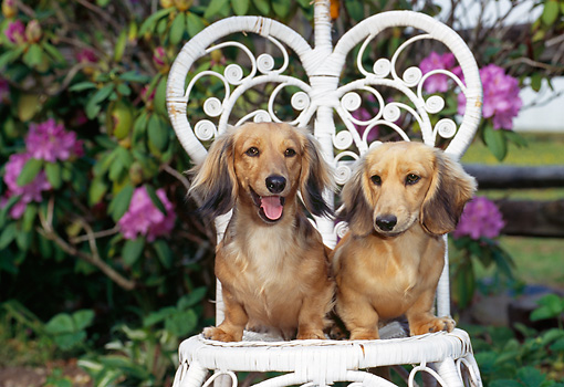 PUP 28 CE0015 01 © Kimball Stock Long-Haired Dachshund Puppies Sitting On Wicker Chair In Garden