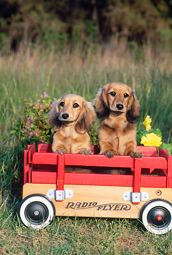 PUP 28 CE0016 01 © Kimball Stock Long-Haired Dachshund Puppies Sitting In Wagon