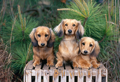 PUP 28 CE0017 01 © Kimball Stock Long-Haired Dachshund Puppies Sitting On Crate By Pine Tree