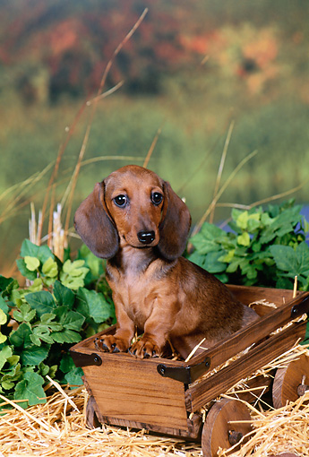 PUP 28 FA0002 01 © Kimball Stock Smooth Coat Dachshund Puppy Sitting In Wooden Wagon
