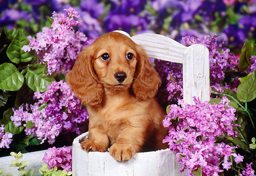 PUP 28 FA0003 01 © Kimball Stock Long Hair Dachshund Puppy Sitting In Wooden Basket.