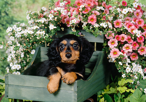 PUP 28 FA0004 01 © Kimball Stock Long Hair Dachshund Puppy Laying In Wooden Basket.