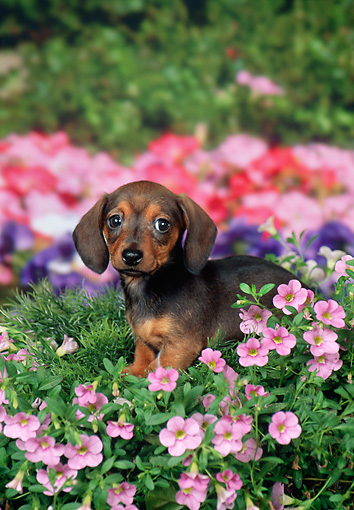 PUP 28 FA0005 01 © Kimball Stock Smooth-Haired Dachshund Puppy Sitting In Garden