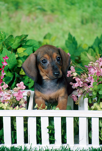 PUP 28 FA0006 01 © Kimball Stock Smooth-Haired Dachshund Puppy Sitting In Garden By White Fence