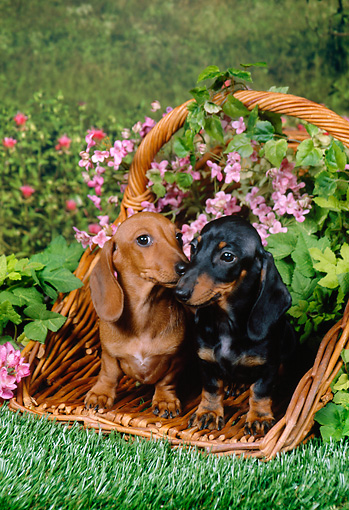 PUP 28 FA0007 01 © Kimball Stock Smooth-Haired Dachshund Puppies Sitting In Wicker Basket In Garden