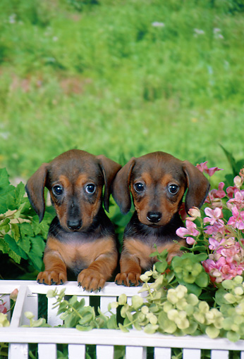 PUP 28 FA0008 01 © Kimball Stock Smooth-Haired Dachshund Puppies Sitting In Garden By White Fence