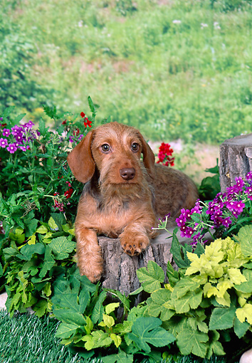 PUP 28 FA0009 01 © Kimball Stock Wirehair Dachshund Puppy Laying On Stump In Garden