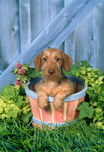 PUP 28 FA0010 01 © Kimball Stock Wirehair Dachshund Puppy Sitting In Flower Pot In Garden