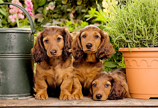 PUP 28 JE0002 01 © Kimball Stock Dachshund Puppies Sitting In Garden