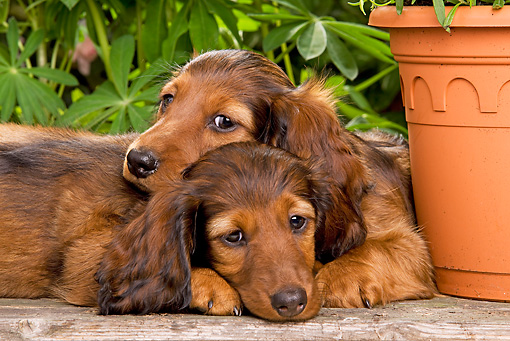 PUP 28 JE0004 01 © Kimball Stock Dachshund Puppies Laying In Garden By Flower Pot