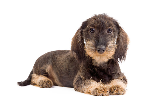 PUP 28 JE0007 01 © Kimball Stock Wirehaired Dachshund Puppy Laying On White Seamless
