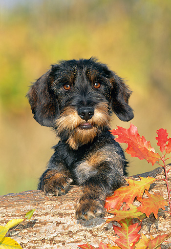 PUP 28 KH0006 01 © Kimball Stock Wirehaired Teckel Dachshund Puppy Leaning Over Log
