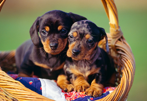 PUP 28 RK0002 03 © Kimball Stock Two Dachshund Puppies Sitting In Basket