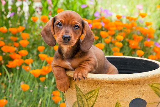 PUP 28 RK0015 01 © Kimball Stock Dachshund Puppy Sitting In Flower Pot In Garden