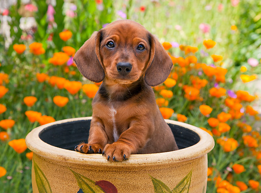 PUP 28 RK0016 01 © Kimball Stock Dachshund Puppy Sitting In Flower Pot In Garden