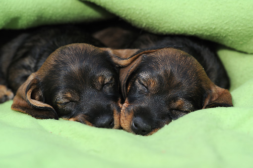 PUP 28 SS0004 01 © Kimball Stock Two Wire-Haired Dachshund Puppies Sleeping On Green Blanket