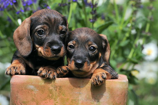 PUP 28 SS0005 01 © Kimball Stock Two Wire-Haired Dachshund Puppies Sitting In Flower Pot